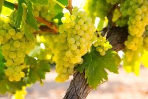 variedades de uvas portada